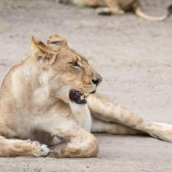 Botswana Safari - Löwin im Chobe