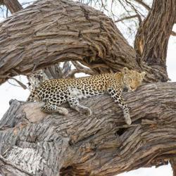 Botswana Safari - Leopard