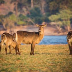 Botswana Safari - Wasserböcke am Chobe Fluss
