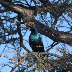 Glanzstare (Cape Glosse Starling) - Besucher auf der Campsite