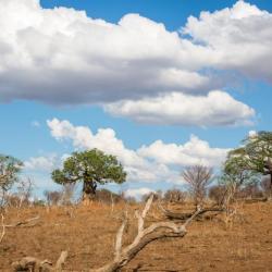 Baobabs im Chobe NP