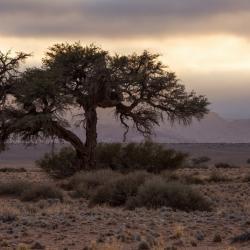 Akazie in der Namib