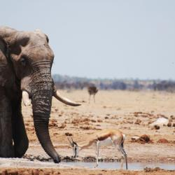 Elefant an der Nxai Pan