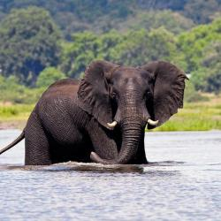 Elefant am Chobe River