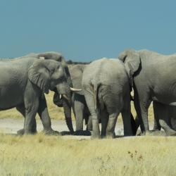 Elefanten im Etosha