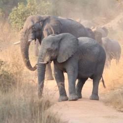 Elefanten im Welgevonden Game Reserve