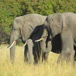 Namibia - Elefanten im Mahango Nationalpark