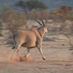 Elenantilope in der Tuli Wilderness - Selbstfahrer Botswana
