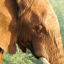 Elefant in Marakele