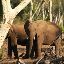 Selbstfahrer Südafrika - Elefanten im Fiebertree Wald