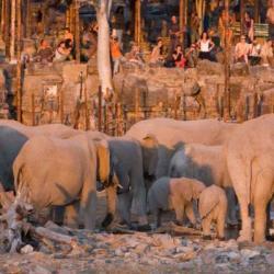 Elefanten am Wasserloch des Halali Camps im Etosha NP