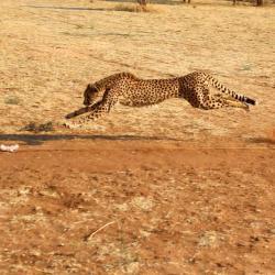 Geparden Training - Cheetah Conservation Foundation