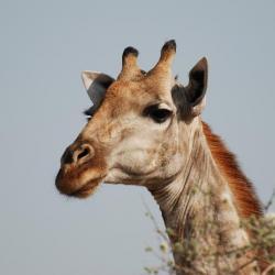 Camping Botswana - Giraffe im Moremi Game Reserve