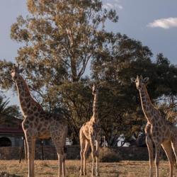Giraffen auf Voigtland