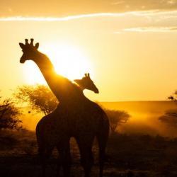 Giraffenmorgen auf Okonjima, Namibia