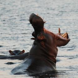 Ein Hippo verteidigt sein Revier