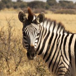 Zebra im Khama Rhino Sanctuary