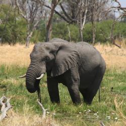 Elephant im Moremi Game Reserve