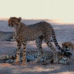 Junge Geparden in der Kalahari © Kalahari Calling UG