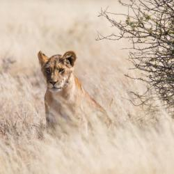 Lioness in the Kalahari
