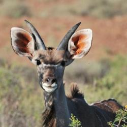 Kudu im Mokala NP - Selbstfahrer Südafrika
