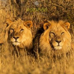 Löwen in der Kalahari