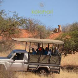 Lion Tracking Kalahari Game Lodge