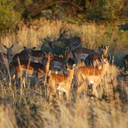 Impalas im Marakele - Kalahari Calling ©