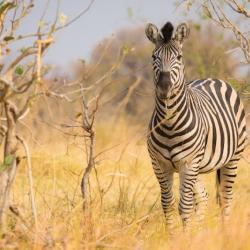 Zebra im Moremi Game Reserve
