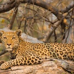 Leopard am Khwai
