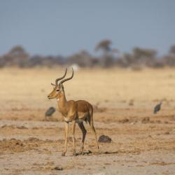 Impala am Nxai Pan Waterhole