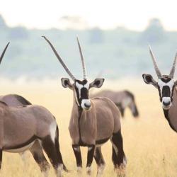 Oryxantilopen im Kalahari Game Reserve