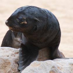 Robben Nachwuchs am Cape Cross
