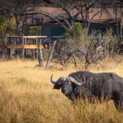 """Rra Dinare bedeutet """"Herr Büffel"""" in Tswana"""
