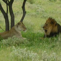 Schwarzmähnige Kalahari Löwen - Tau Pan Camp