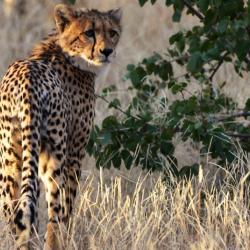 Gepard im Tuli Reserve