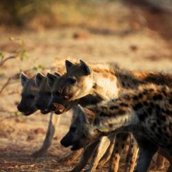 Hyänen im Tuli Reserve - Copyright Tuli Safari Lodge