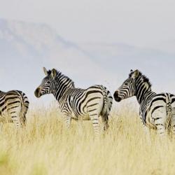 Zebras auf Tomjachu