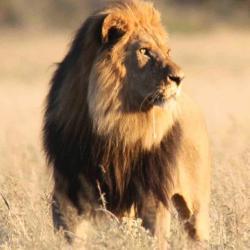 Kalahari Löwe