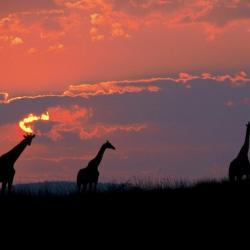 Giraffen in Pilanesberg