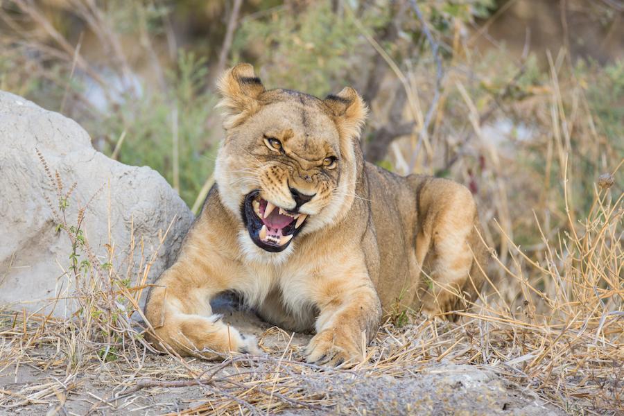 Junge Löwin - unterwegs auf der Löwen Tour mit Kalahari Calling