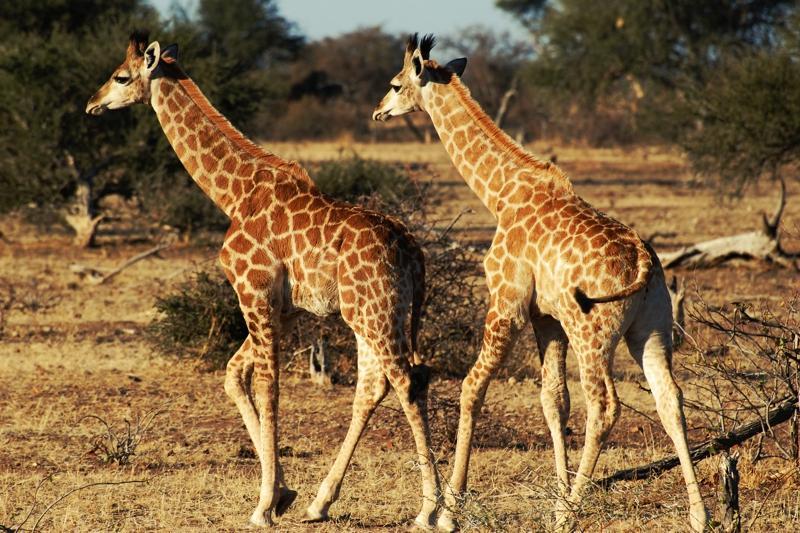 Giraffen im Tuli Block