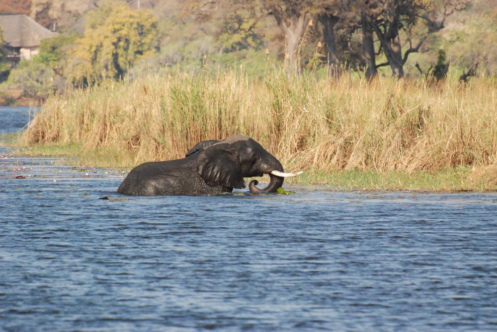 Elefanten Crossing Chobe Waterfront