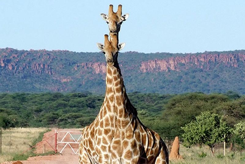Giraffen am Waterberg in Namibia