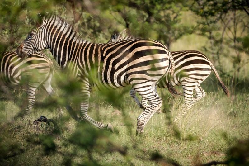 Zebras im Bushwa Private Game Reserve