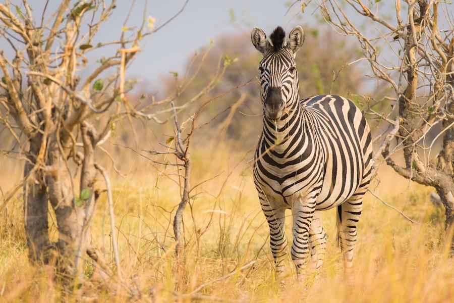 Zebra im Moremi Reserve