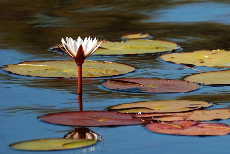 Wasserlilien im Okavango Delta