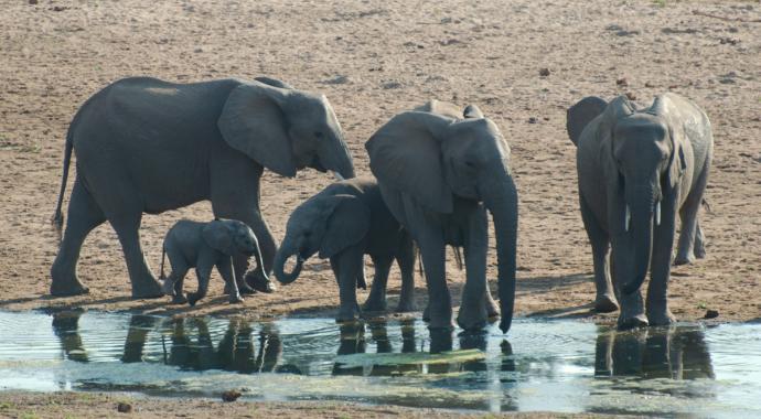 Elefanten im Mapungubwe Nationalpark