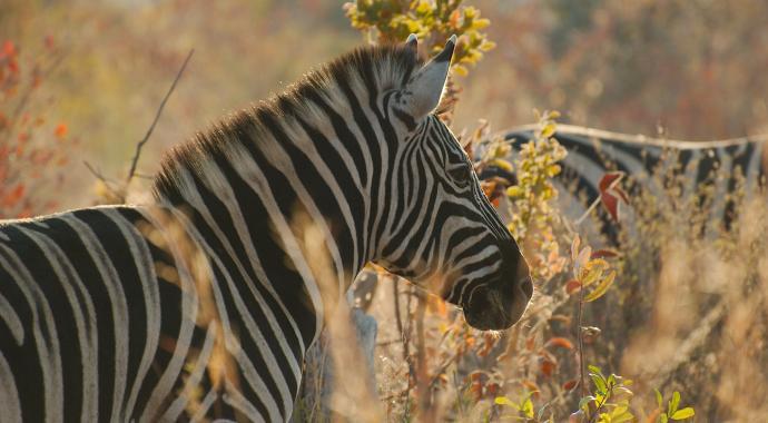 Zebra in der Morgensonne - Kalahari Calling UG