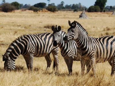 Zebras im Moremi Nationalpark